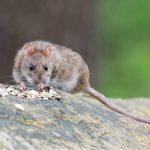 500 000 000 szczurów po trzech latach
