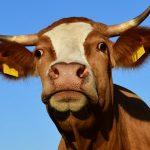 OSM Łowicz częściowo rezygnuje z pasz GMO