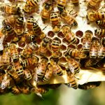 Pszczoły giną na Dolnym Śląsku