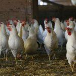 Wzrasta produkcja mięsa drobiowego