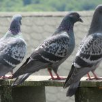 Obrzeżki gołębie to duży problem