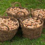 Ułatwienia w międzynarodowym handlu ziemniakami