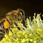 Opryski bezpieczne dla pszczół