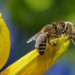 Polacy mało wiedzą<br> o pszczołach