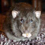 Suchy lód nielegalny <br> w walce ze szczurami