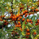 Owoce rokitnika dla poprawy zdrowia