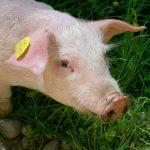 Pomoc dla producentów wieprzowiny