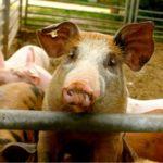 MRiRW zaostrza przepisy dotyczące bioasekuracji <br> w hodowlach świń