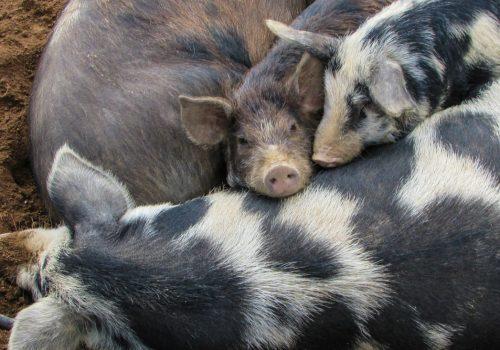 świnie (2)