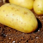 Zasady przemieszczania ziemniaków
