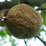 Grzyby z rodzaju Monilinia sp. – jak <br> im zapobiegać?