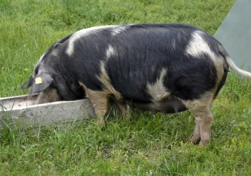 swinia2
