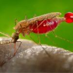 Niebezpieczny prezent od komara