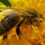 Pszczoły w mieście