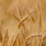 O sytuacji <br> na rynku zbóż