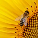 NIK w sprawie pszczół