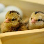 Zniesienie restrykcji importowych dla ptaków, jaj i piskląt jednodniowych <br> z Polski