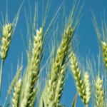 GUS szacuje <br> rynek zbóż