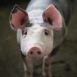 Nowa pomoc<br> dla producentów<bR> świń z terenów objętych ASF