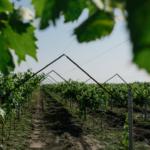 Mołdawskie winogrona