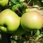SGGW wyhodowała<br> nową odmianę jabłoni