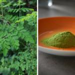 Moringa – lecznicze<br> drzewo świata