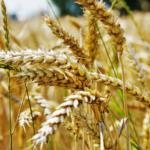 Zbiory zbóż<br> w 2017 roku