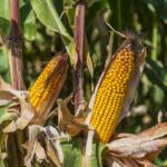 GMO – tak czy nie?