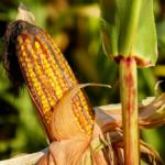 GMO na komisji<br> – ponownie!