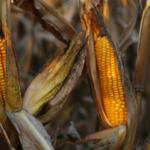 Kukurydza MON 810<br> – konsultacje