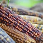 Ustawa o GMO znowelizowana