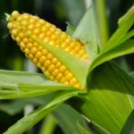 Parlament Europejski przeciw kukurydzy GMO