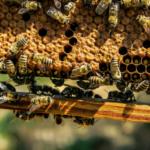 Muchówki dobijają pszczoły?
