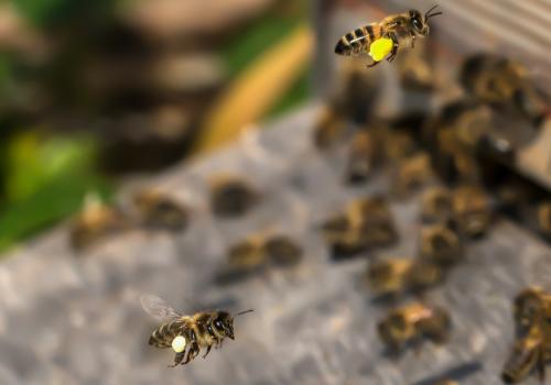 pszoły z pyłkiem
