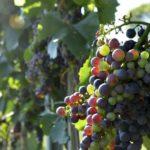 Wyzwania dla branży winiarskiej