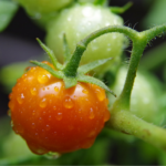 Pomidory<br> na Giewoncie