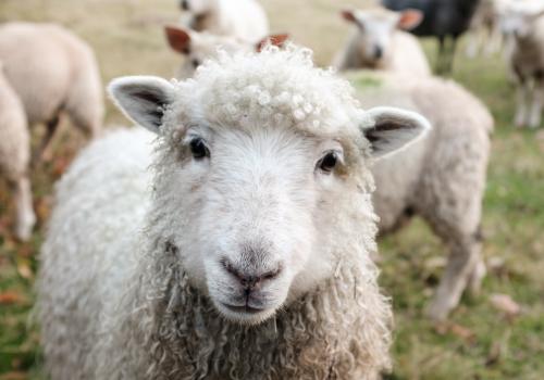 owieczki