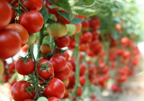pomidory gałązka