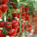 Zagrożenia fitosanitarne