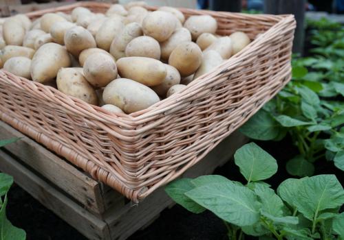 ziemniaki w skrzynce