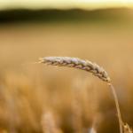 Korzystne prognozy dla rynku zbóż