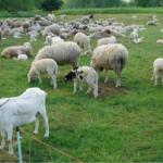 Wsparcie hodowli<br> kóz i owiec