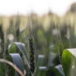 Ceny produktów<br> rolnych w maju<br> 2018 roku