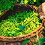 Cenny składnik<br> zielonej herbaty