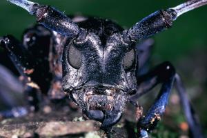Anoplophora.