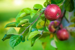 sad jablkowy