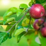 Informacja<br> dla producentów<br> i eksporterów jabłek<br> do Chin