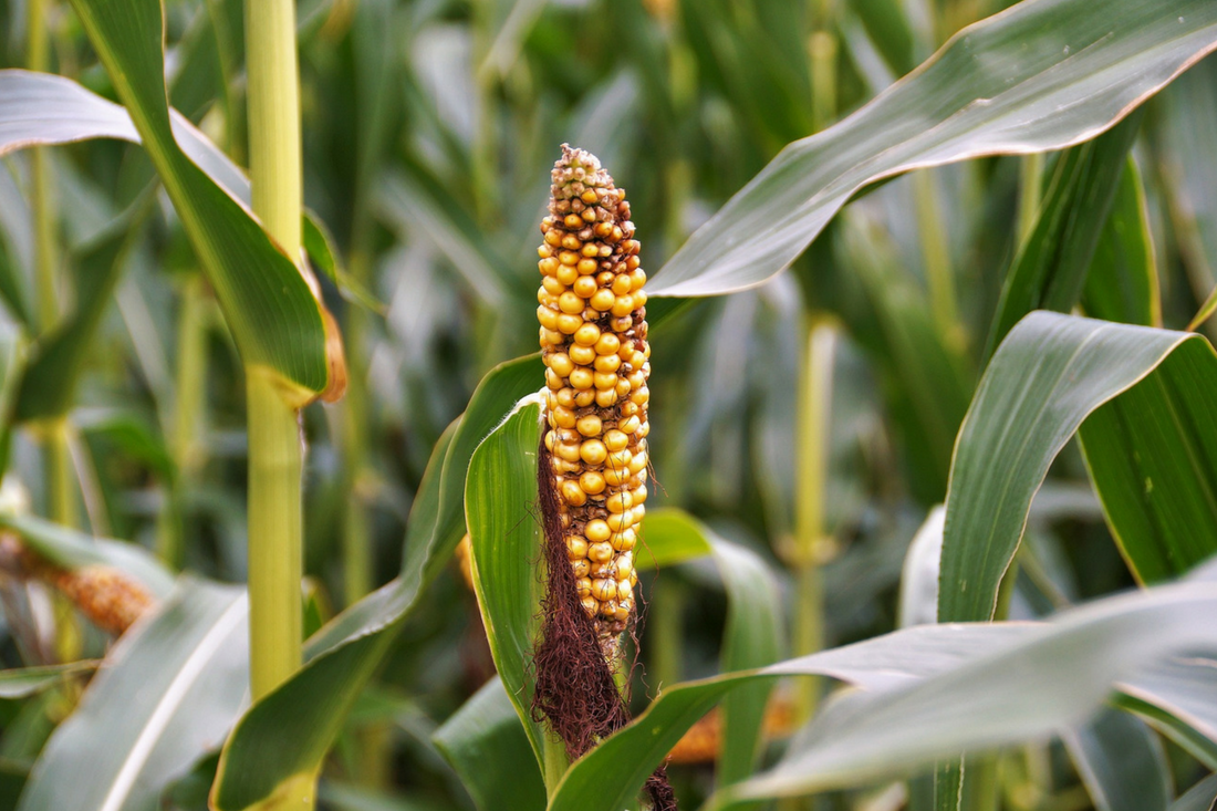 Raport nr 5 dotyczący nowych zagrożeń fitosanitarnych<br> dla Polski