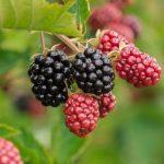 Uwaga podmioty skupujące owoce! Minister przypomina