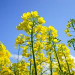 Nowy Fundusz Promocji Roślin Oleistych